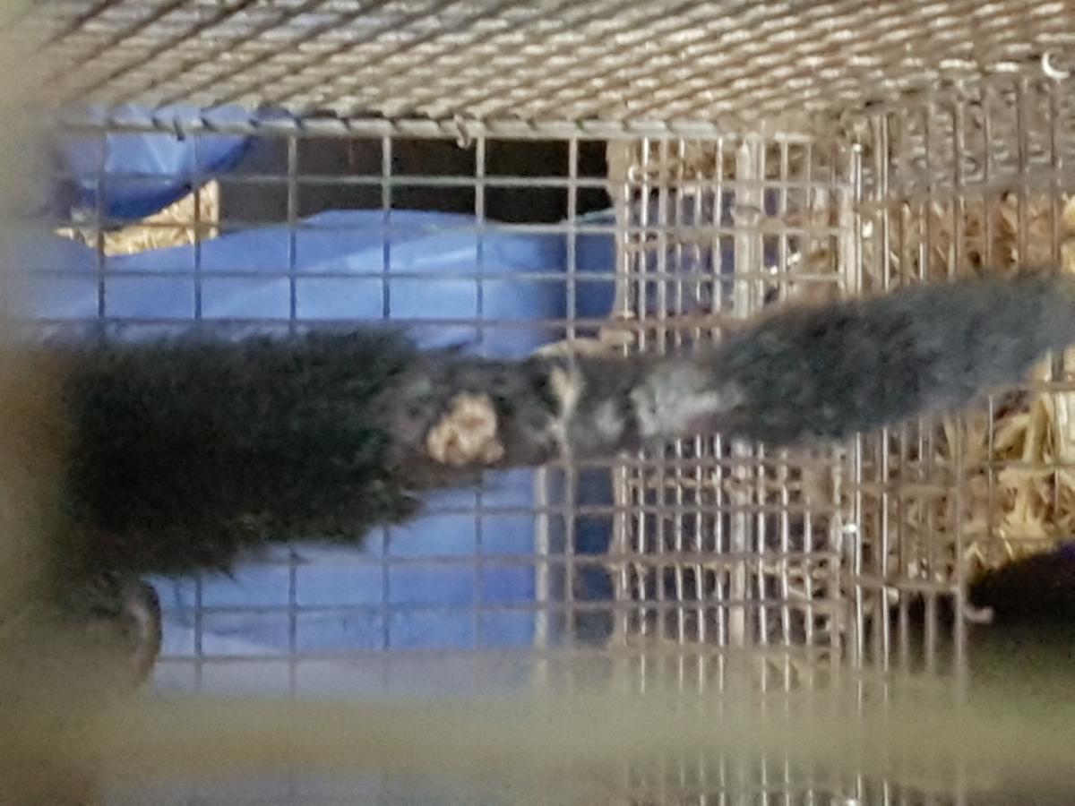 Klage på Mattilsynets manglende reaksjon overfor dyrevelferdsbrudd på minkfarm