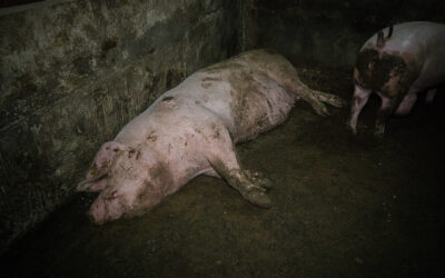 Systematisk svikt og dyremishandling avslørt i griseindustrien